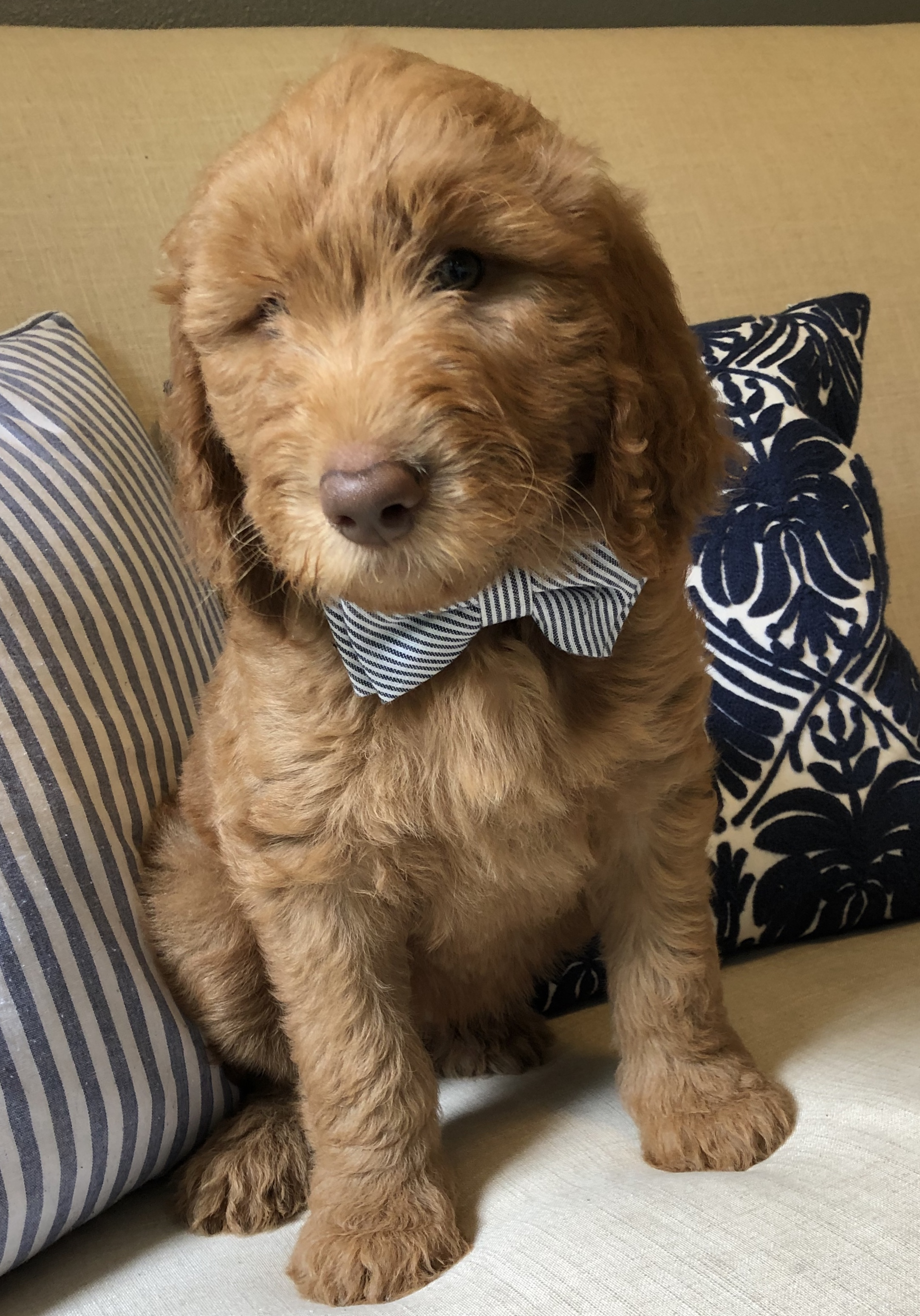 Our Last Red & Cream Goldendoodle boy. We call him Archie, he is the nicest little guy!