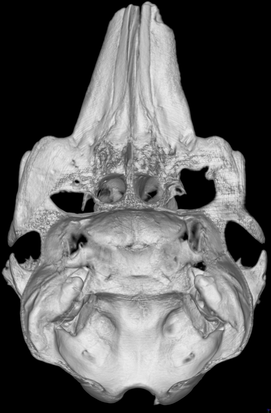 Dorsal view of a digitally sliced in half skull of  Phocoena sinus , an endangered porpoise endemic to the Gulf of California, known colloquially as the Vaquita