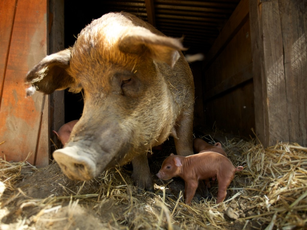 emma-and-piglets-1024x768.jpg