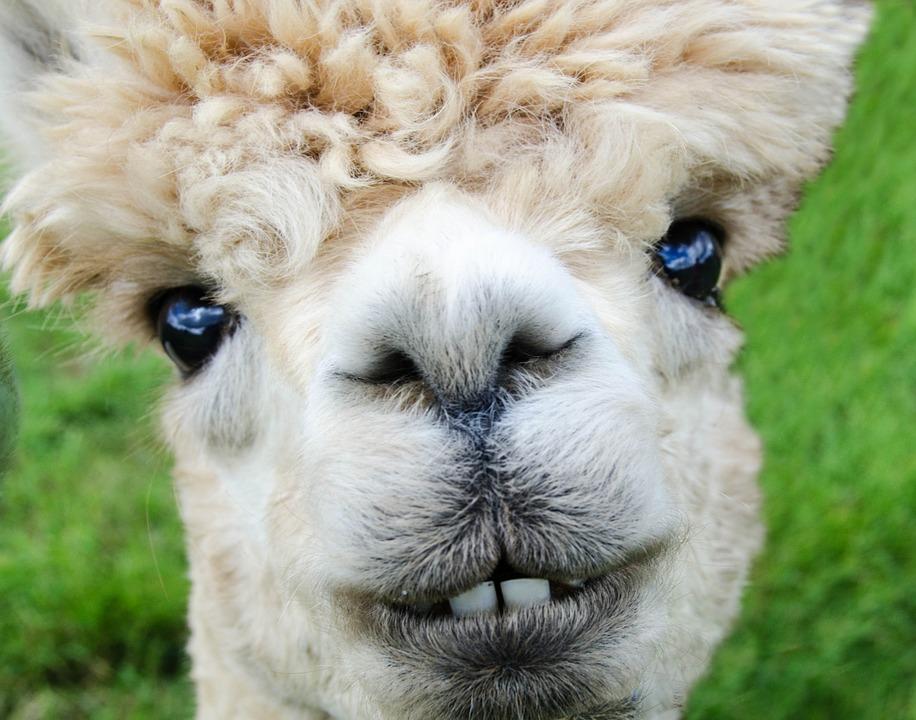 alpaca-985158_960_720.jpg