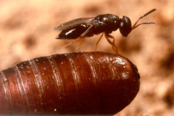 fly parasite on pupae.jpg