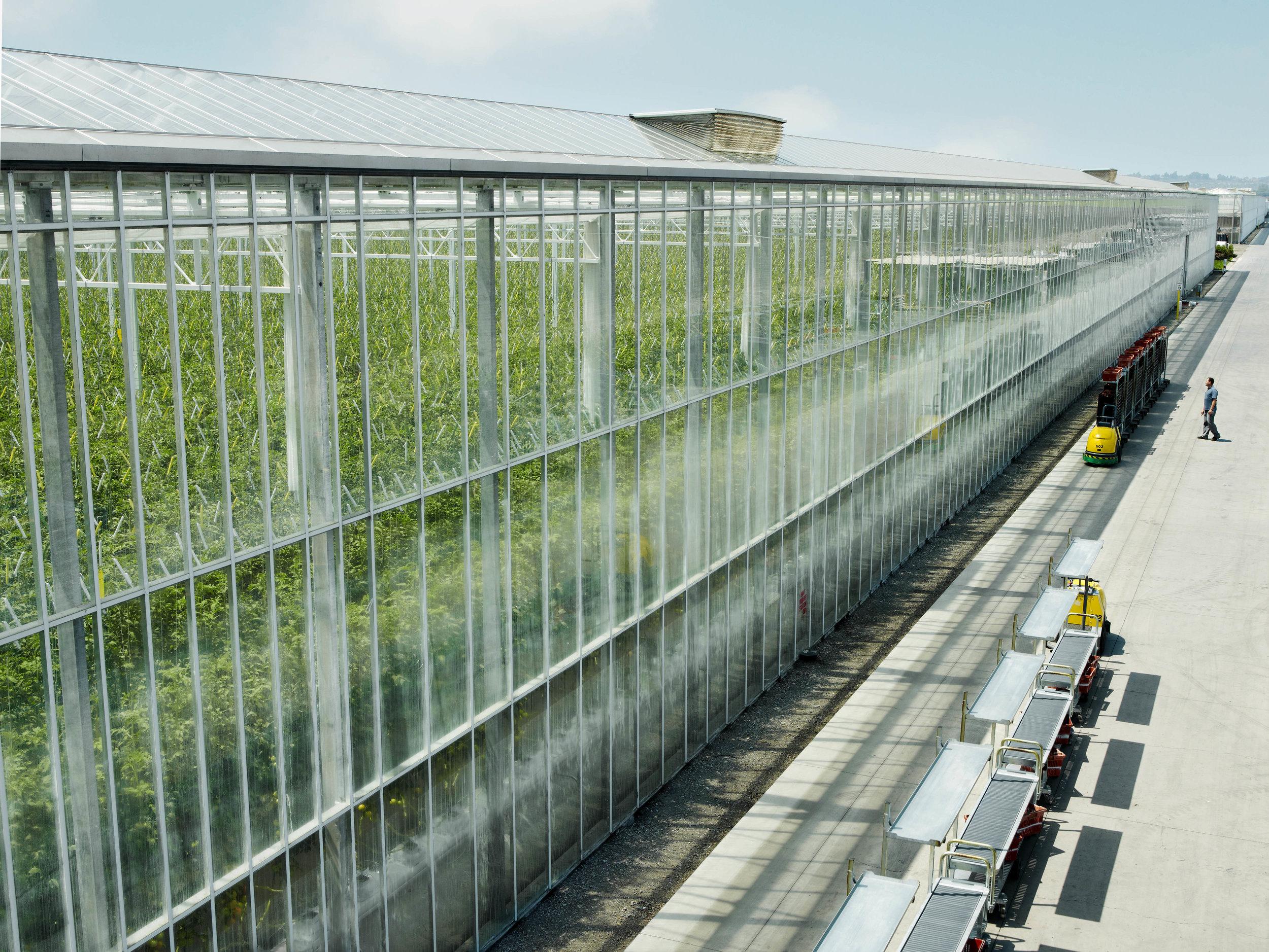houwelings tomatoes outside greenhouse (1).jpg