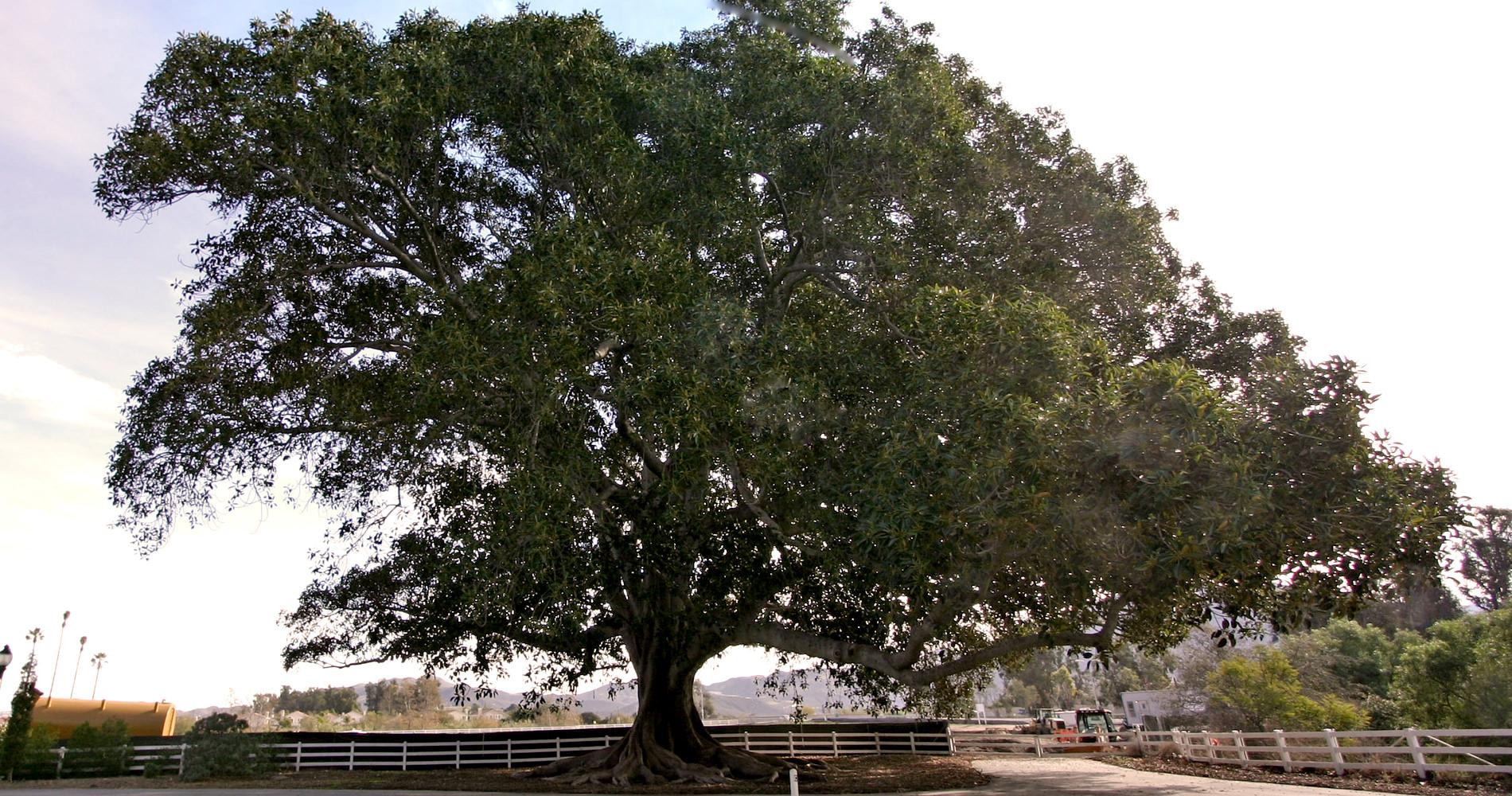 Trees-MoretonBayFig.jpg