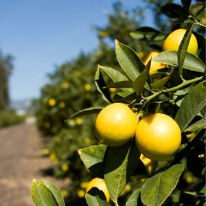 limoneira-tree.jpg