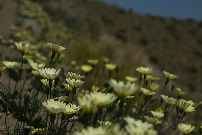 deathvalleyflowers1_web.jpg