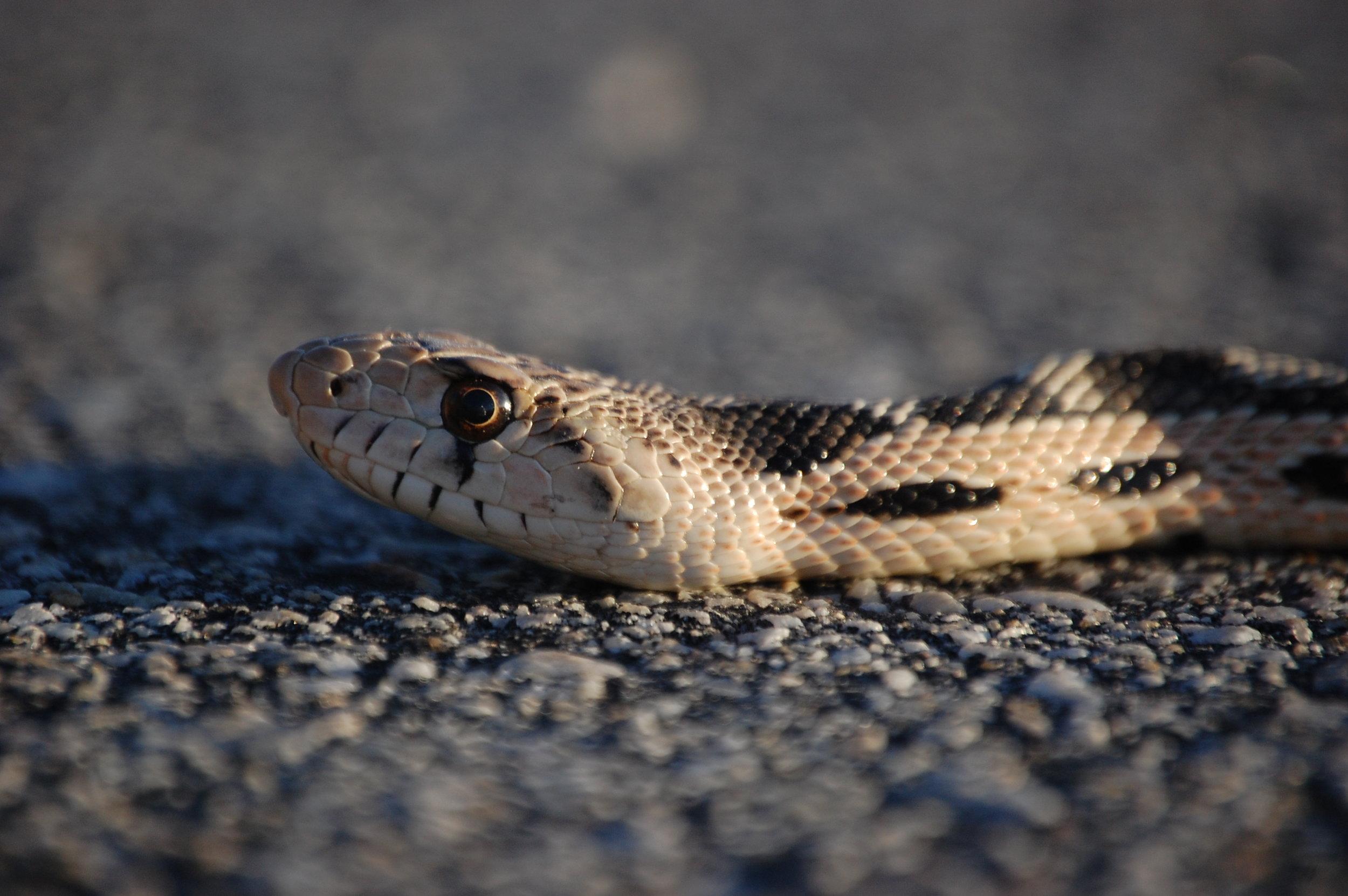 Steve Moore_Gopher snake on the prowl.JPG