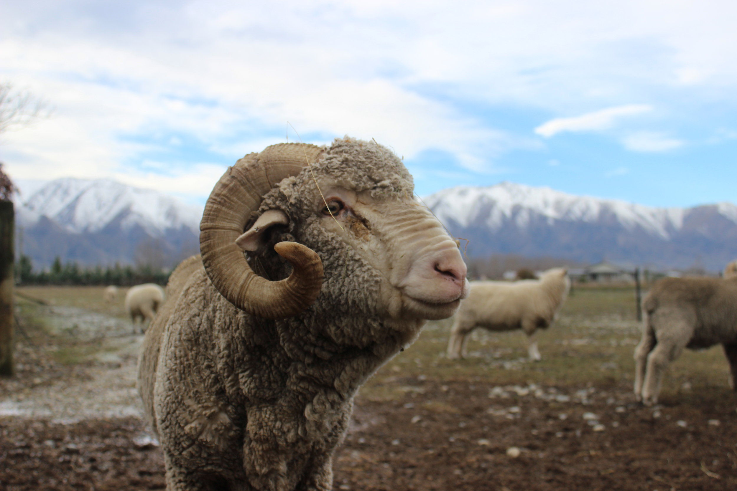 New Zealand Mountain Ram