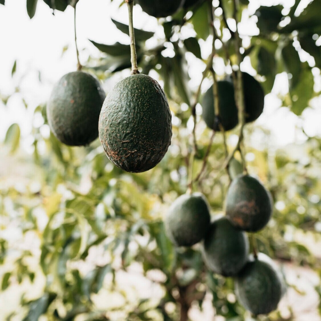 World Avocado Weekend 31st July 2020 Tropical Fruit World
