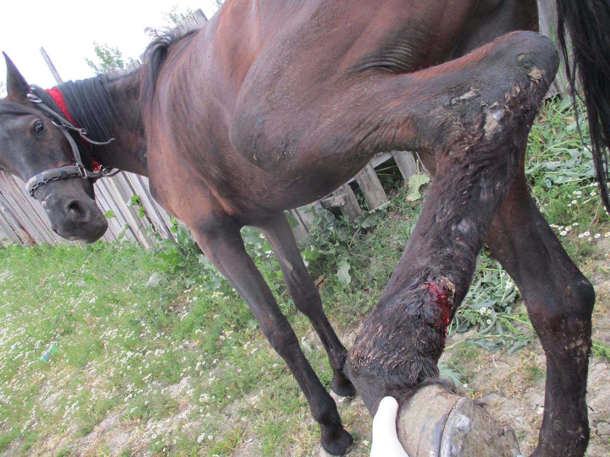 Arbeitspferd mit Schürfwunden. Jeden Tag werden viele Dutzend   Pferde durch uns versorgt.