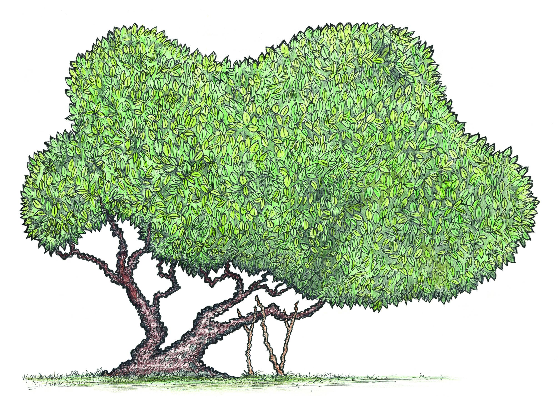 MULBERRY TREE_JPEG.jpg