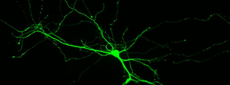 CGE Synaptogenic Neuron