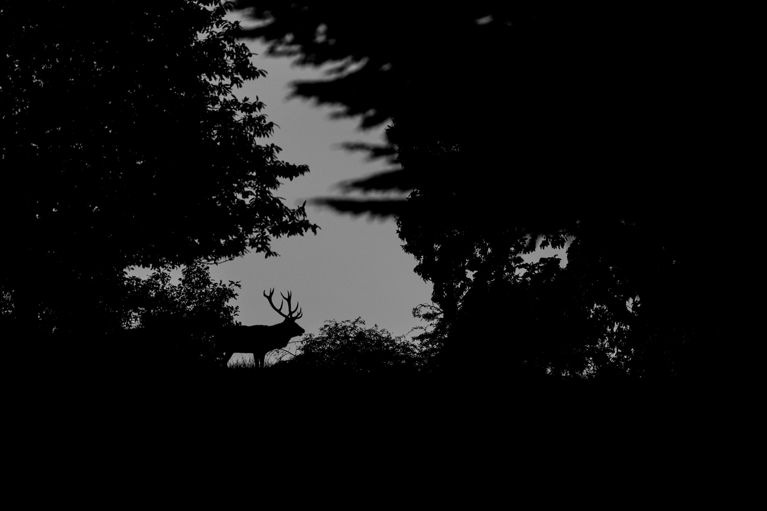 Red Deer Stag 2