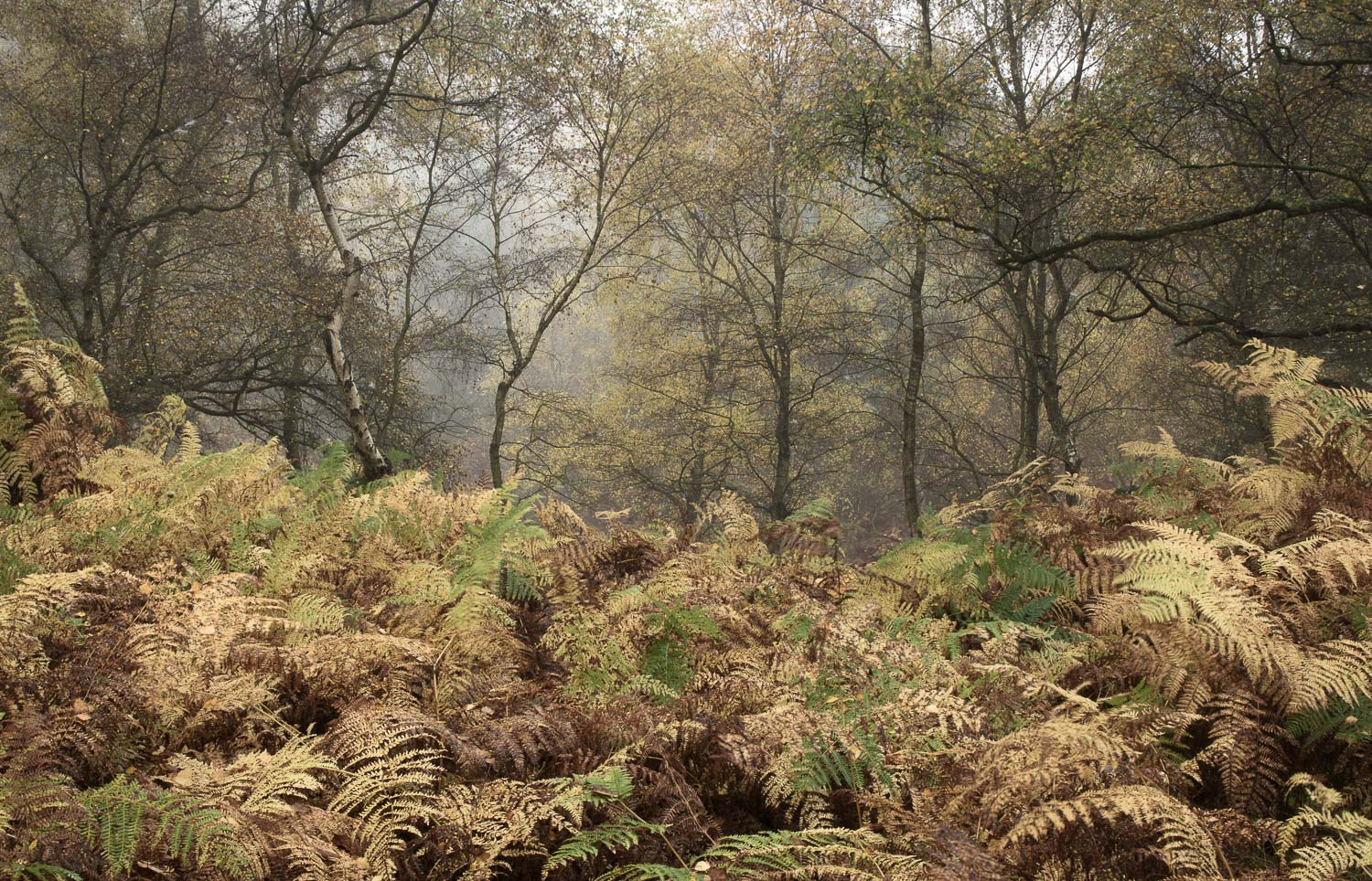 Autumnal Woodland in Cannock Chase