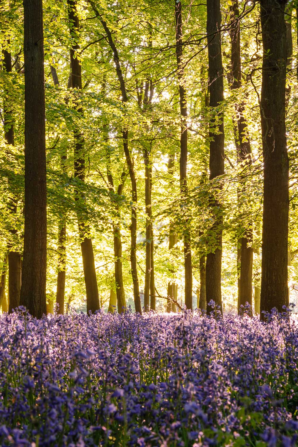 Backlit Bluebells and Beech Trees 2