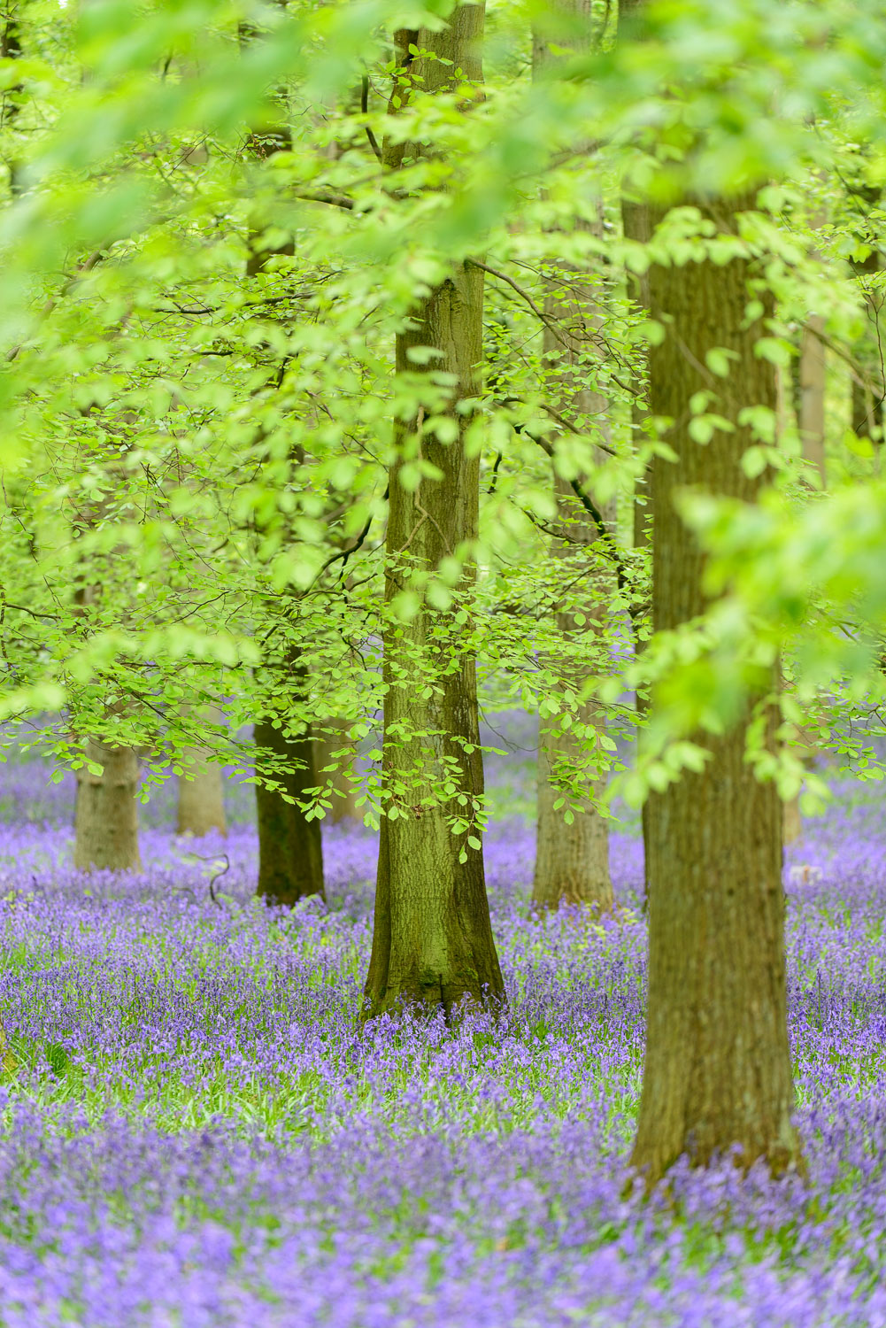 Bluebells in a Beech Wood