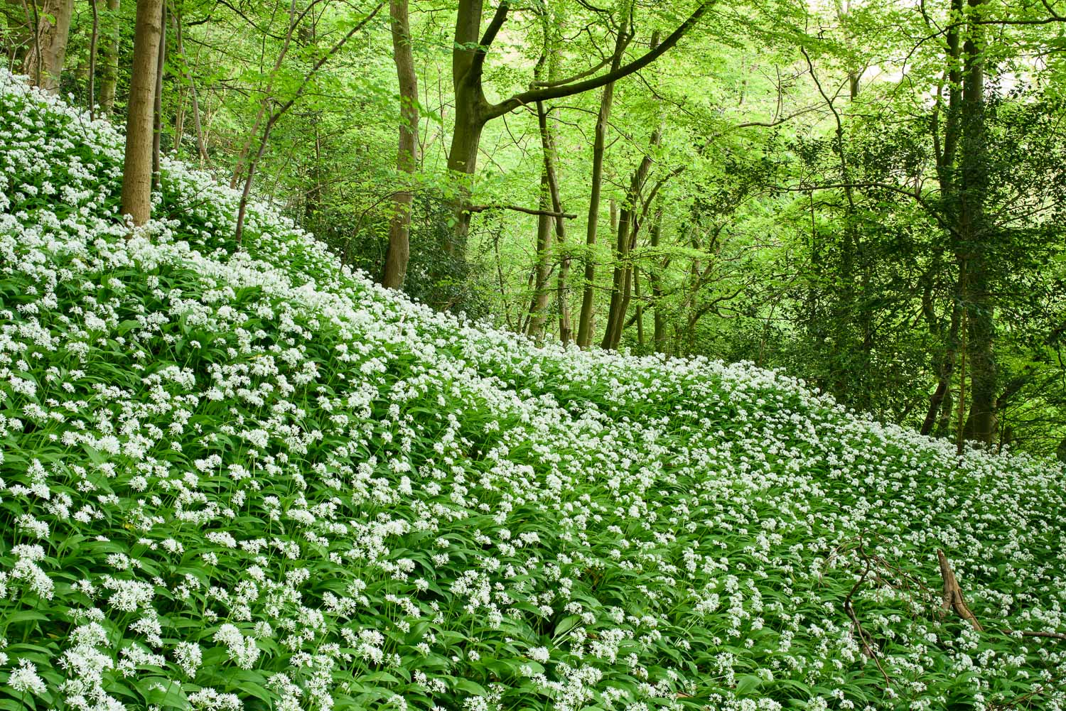 Wild Garlic in Spring Woodland