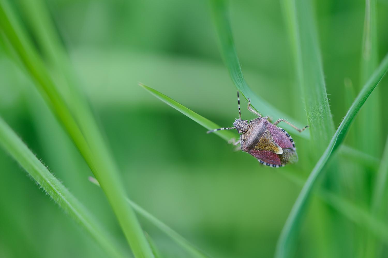 Sloe Bug