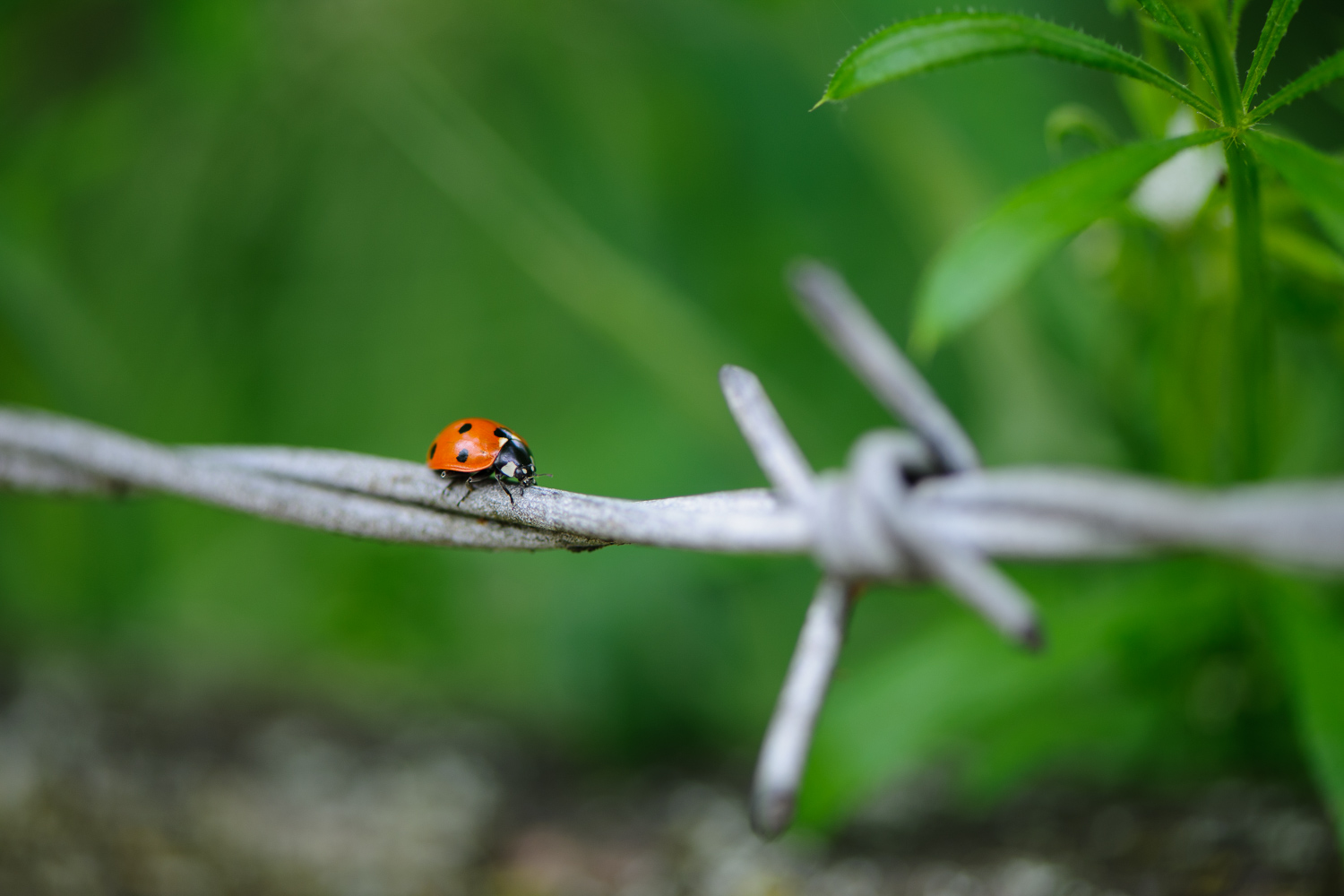 Ladybird on Barbed Wire