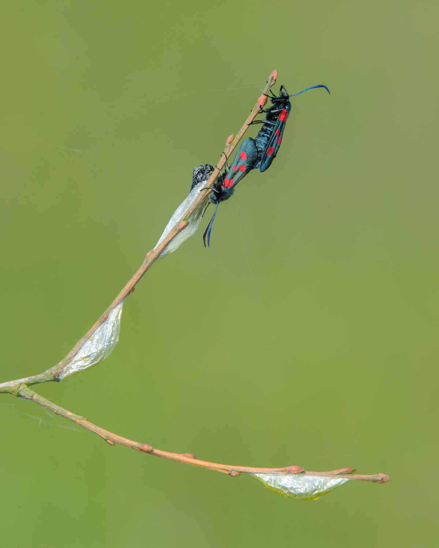 Six-Spot Burnet Moths