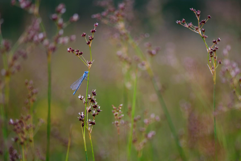 Common Blue Damselfly in Wet Meadow