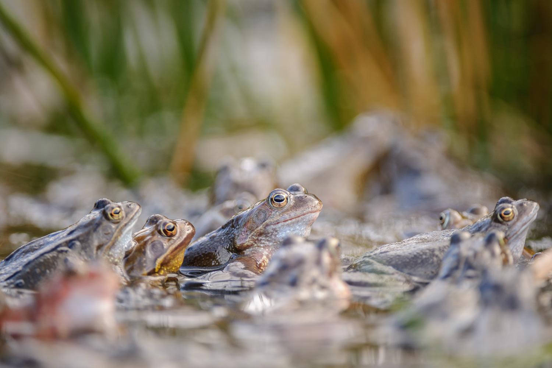 Common Frogs in Amplexus
