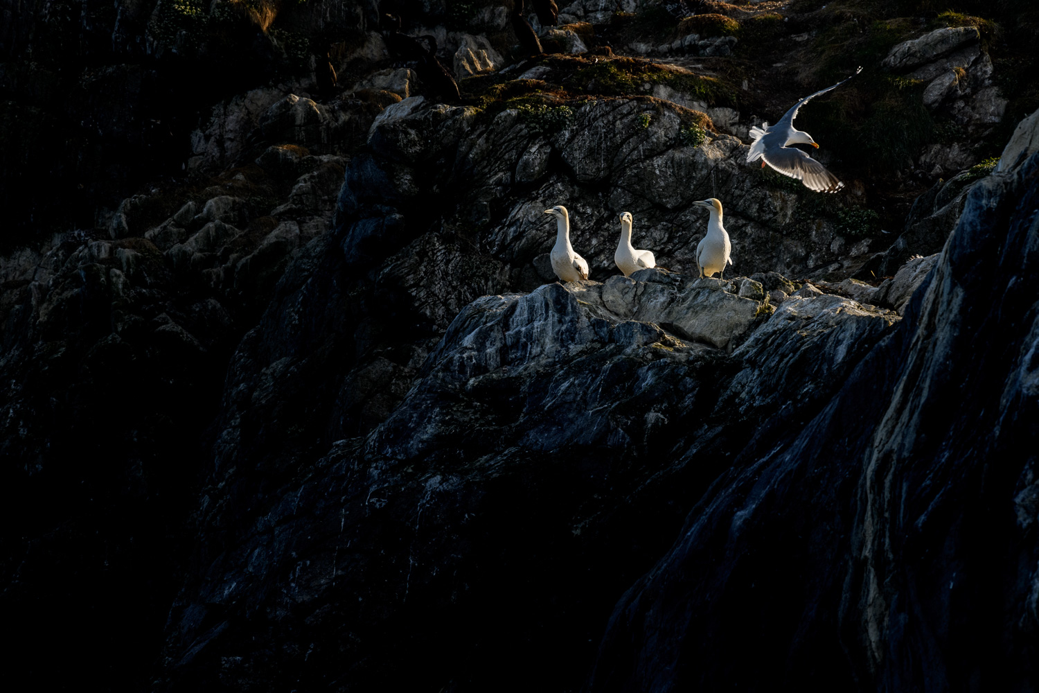 Northern Gannets and Gull