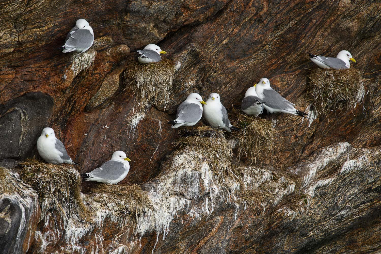 Kittiwakes Nesting on a Cliff