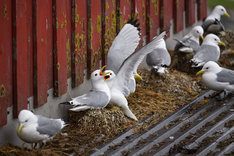 Kittiwakes Nesting on a Roof