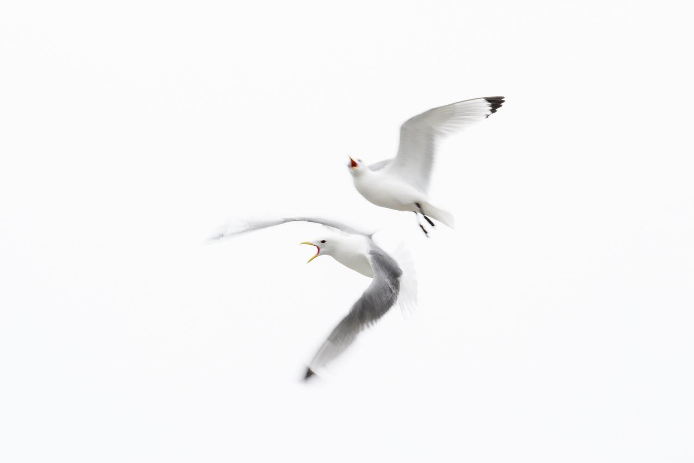 Kittiwakes in Flight