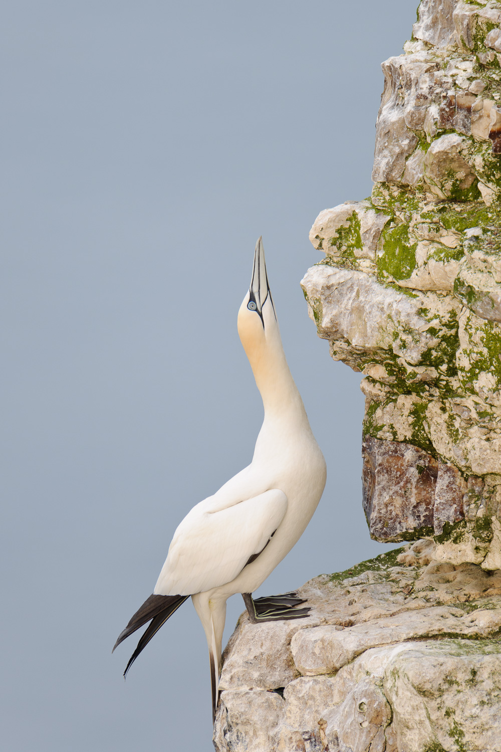 Northern Gannet Sky Pointing