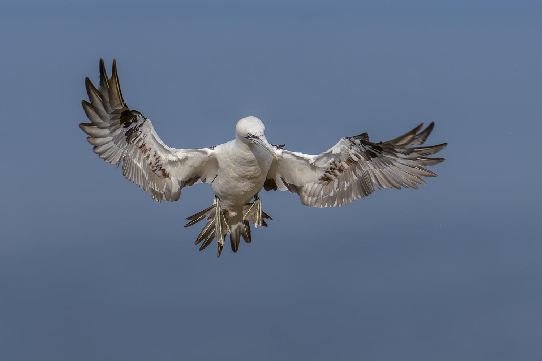 Juvenile Northern Gannet