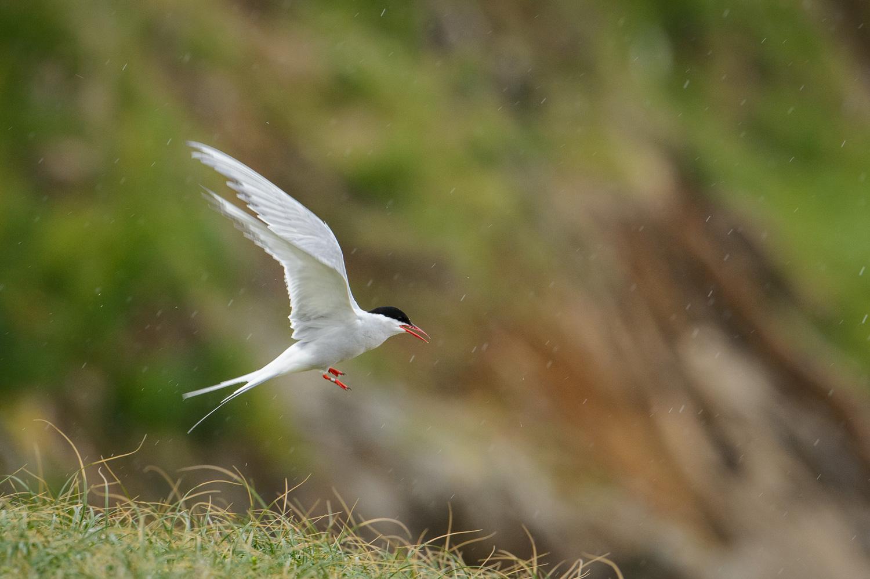 Arctic Tern Flying in the Rain