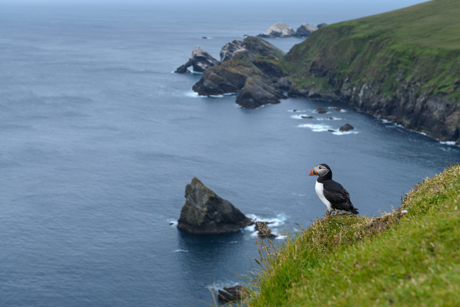 Solitary Puffin
