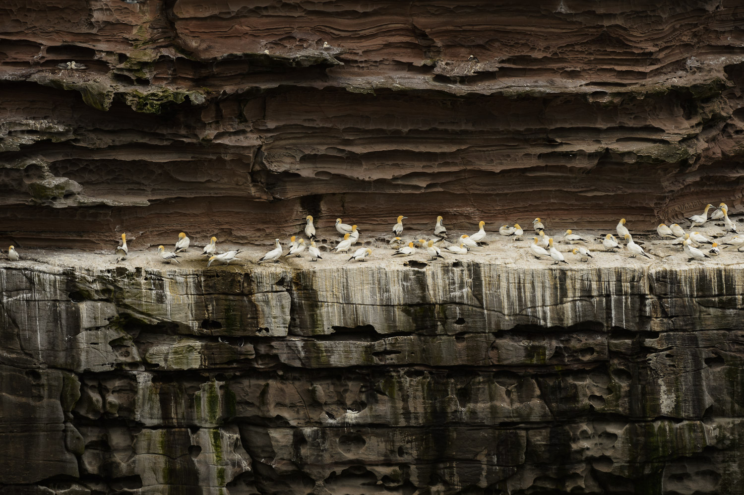 Northern Gannets and Kittiwakes