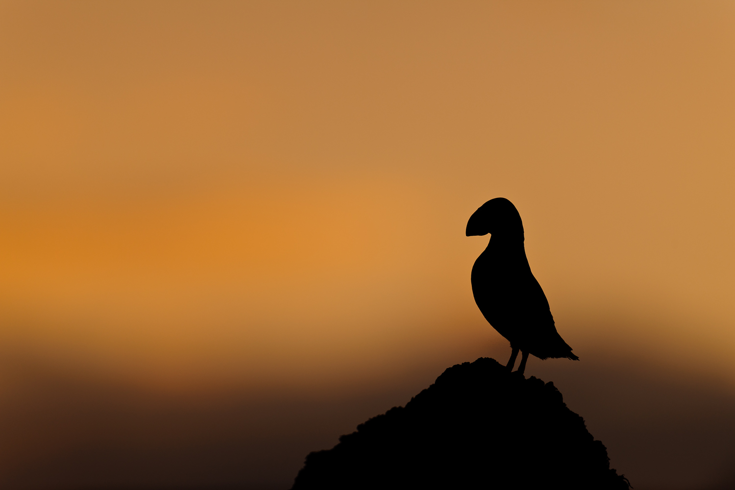 Puffin Silhouetted at Dusk