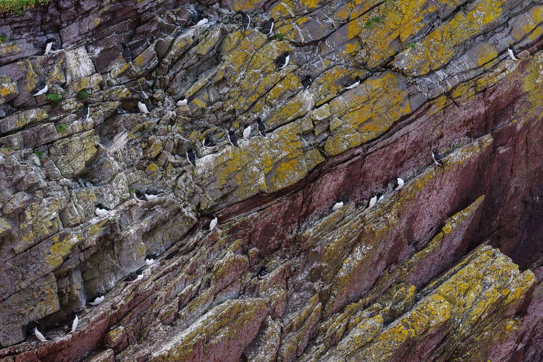 Razorbills Nesting on a Sea Cliff