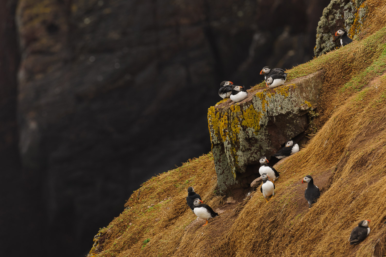 Puffins on a Sea Cliff