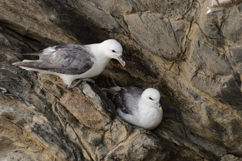 Nesting Fulmars
