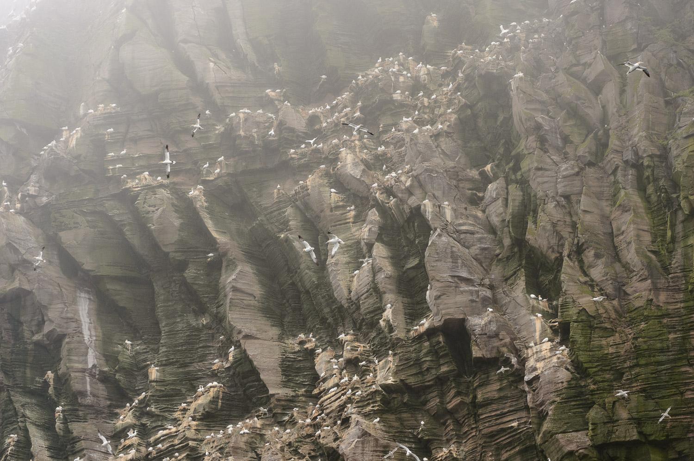 Misty Northern Gannetry