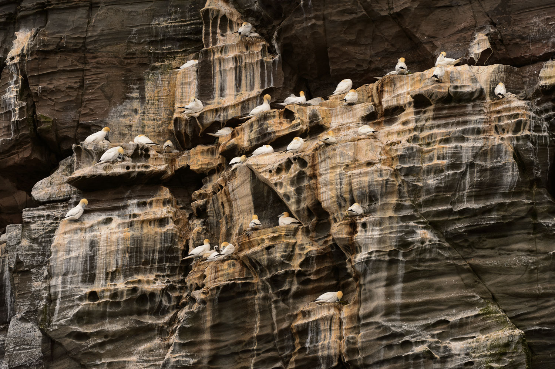 Northern Gannets Nesting on Noss