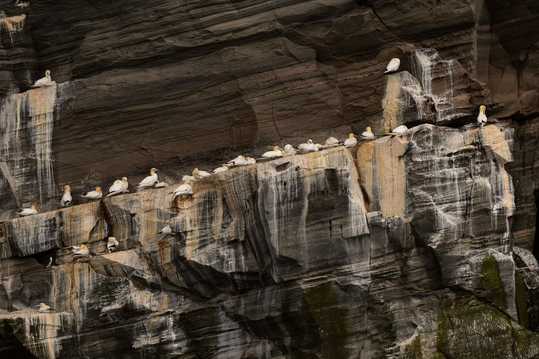 Northern Gannets Nesting on a Rocky Ledge