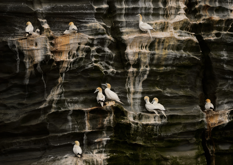 Nesting Northern Gannets