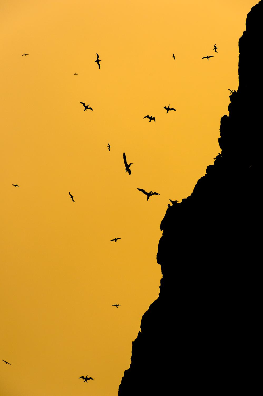 Northern Gannets in Flight