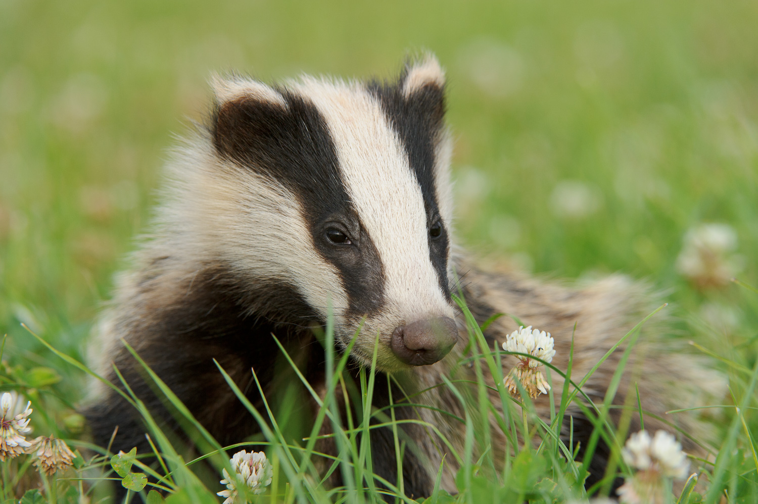 Young Badger in Clover