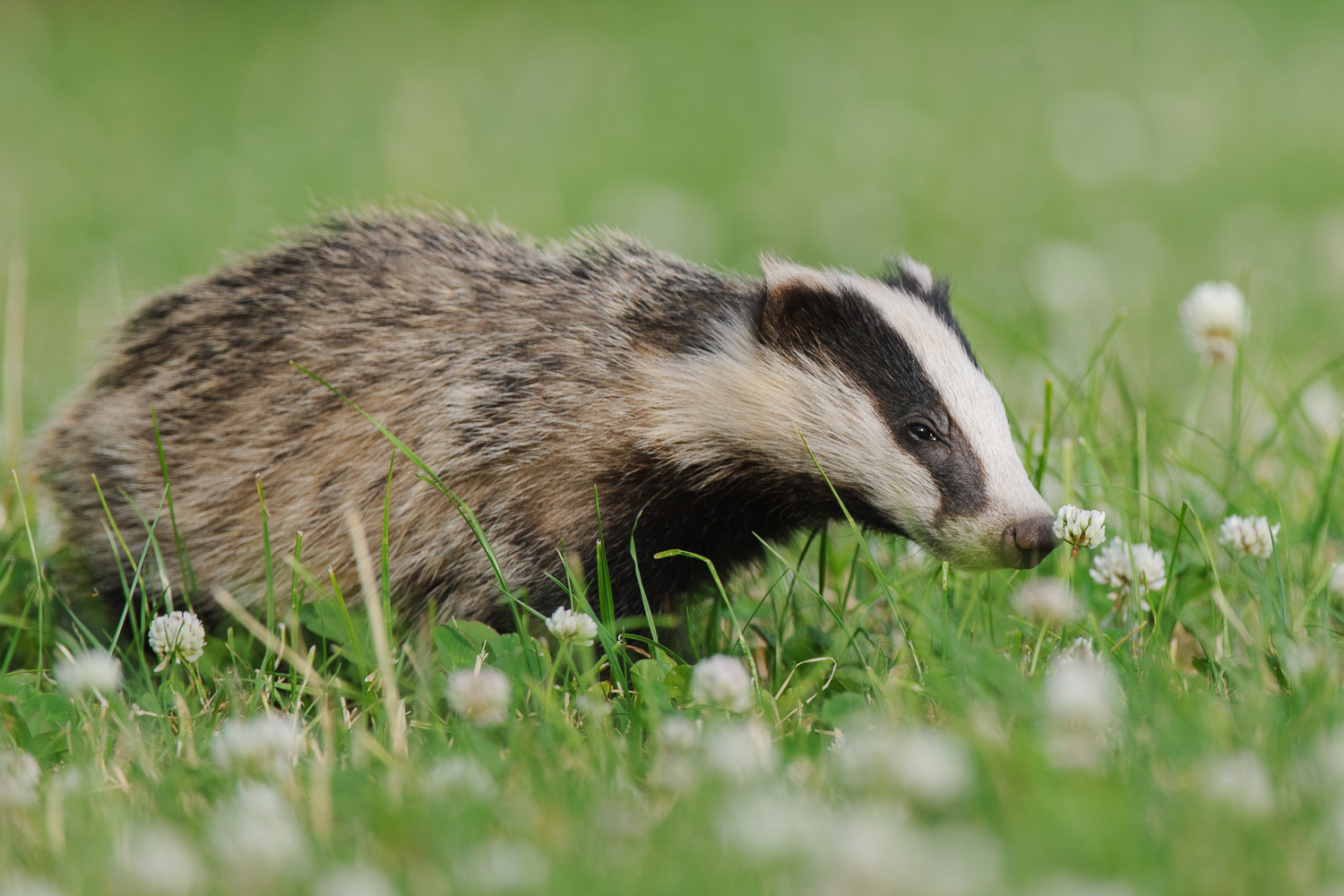 Young Badger Smelling a Flower