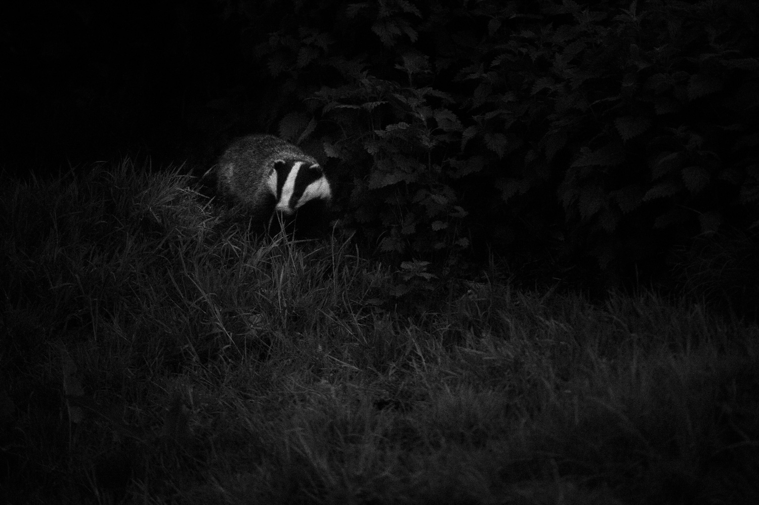 Twilight Badger