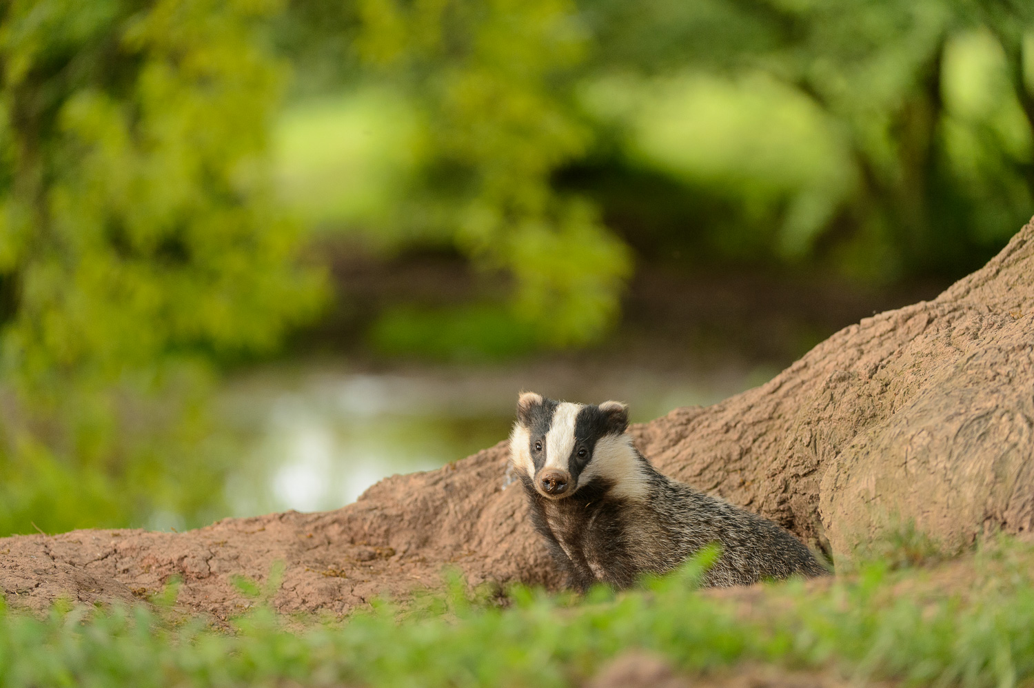 Early Evening Badger