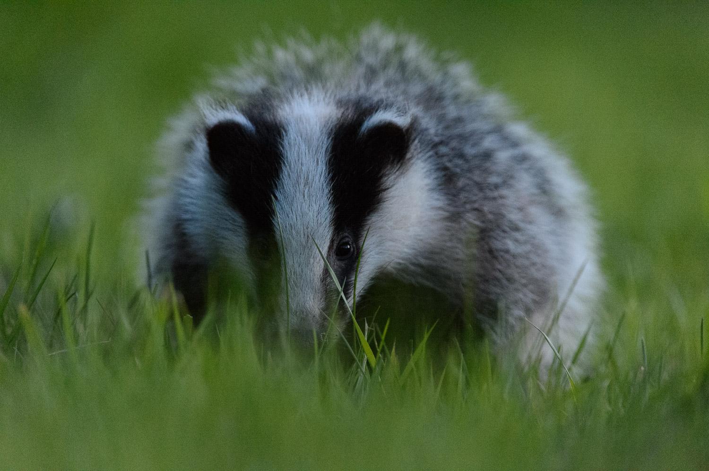 Twilight Badger