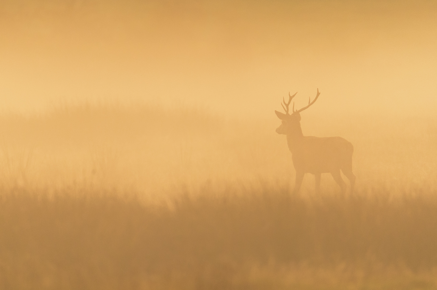Misty Stag