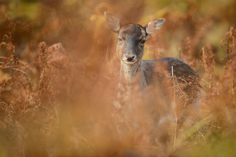 Fallow Deer Doe